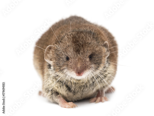 Fotografie, Obraz  Front view of a White-toothed shrew, isolated on white