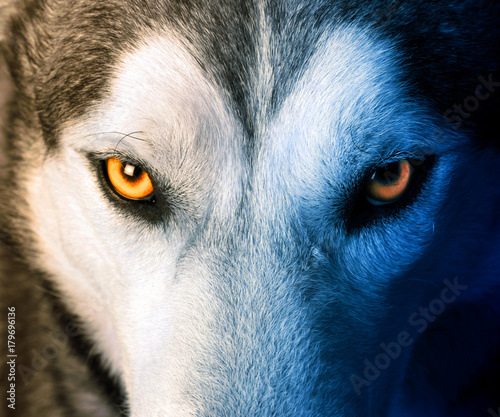 Aluminium Prints Wolf Mystic charm of the wolf