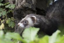 Polecat Close Up Portrait Near Log And Grass