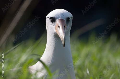 Laysan Albatross - I am smiling Slika na platnu