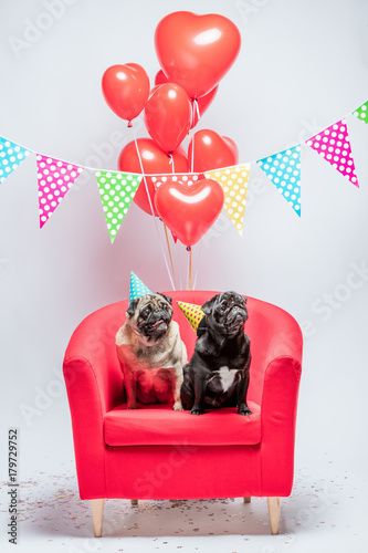 Two Pugs Dogs With Birthday Decorations Buy This Stock Photo And