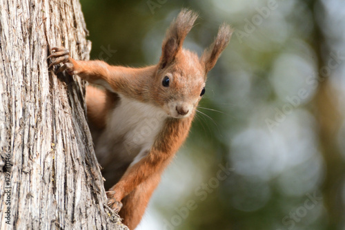 Tuinposter Eekhoorn the squirrel climbs the tree and the grass