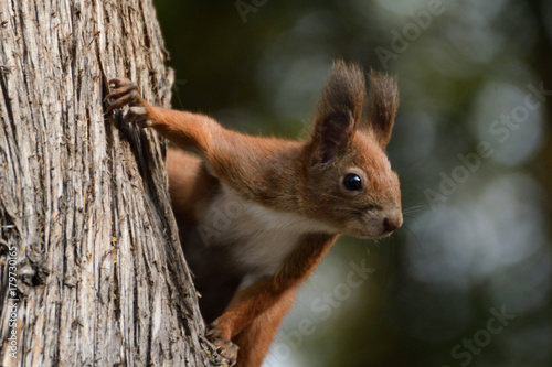 Printed kitchen splashbacks Squirrel the squirrel climbs the tree and the grass