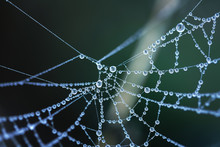 Cobweb In Dew Drops. Rain Drops On A Spiderweb. Toned