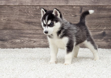 Husky Puppy Looking At A Wood...