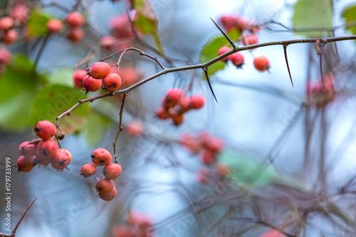 Fotografia Red berries on a tree without leaves in the autumn in the garden closeup, copy space for text
