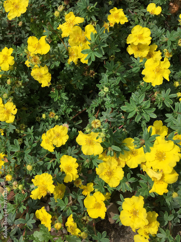 Fotografija  Yellow flowers of the Potentilla plant