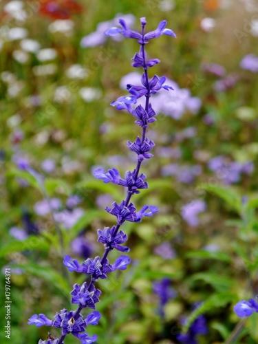 Fotografie, Obraz  Lila Blume hochkant im Garten