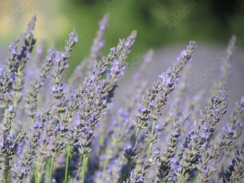 Foto op Plexiglas Lavendel Champs de lavande