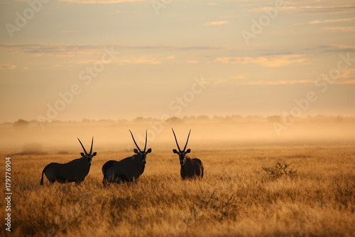 Canvas Prints Antelope Orici all'alba