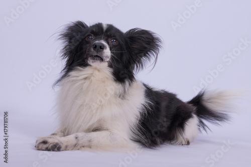 Kleiner Schwarz Weißer Hund Sitzend Vor Weißem Hintergrund Buy
