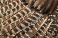 Wild Eastern Turkey Feathers C...