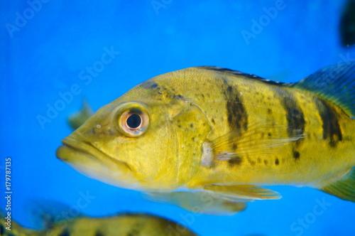 Plakat Brazylia Ya ryby i krokodyl kaczka razem w basenie, żyją razem w pokoju razem