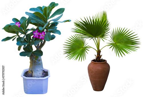 Adenium. Adenium flower. Desert Rose. tree adenium isolated on white background. A palm tree in a flowerpot. Pam tree (Livistona Rotundifolia) in flowerpot, isolated on white.