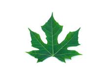 Green Leaf Of Chaya, Spinach (Cnidoscolus Chayamansa) On White Background
