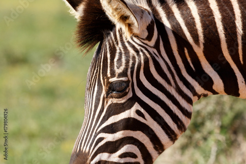 Fototapety, obrazy: Close up of the Zebra's eye and ears