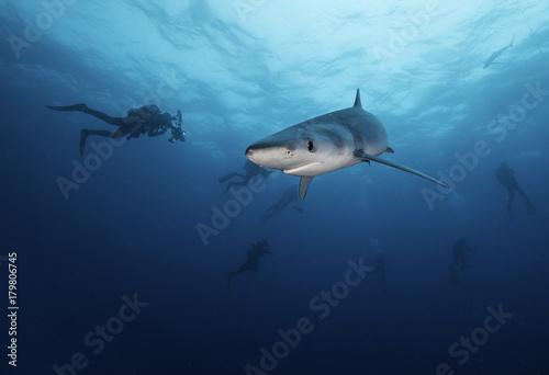 Obraz na dibondzie (fotoboard) Błękitny rekin z nurkami w tle, Zachodni przylądek, Południowa Afryka.