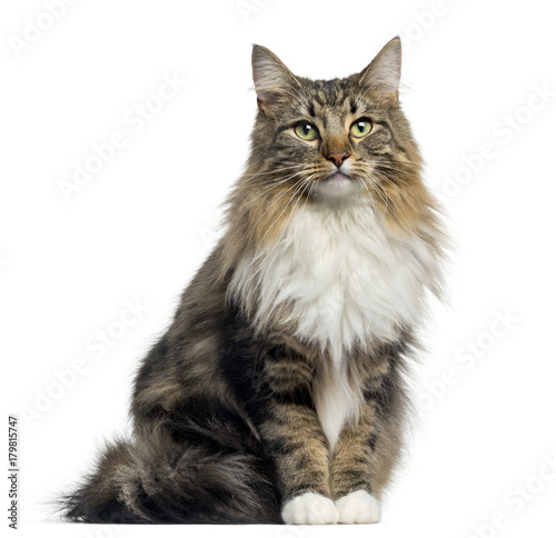Fotobehang Kat Front view of a Norwegian Forest cat sitting, looking at the camera, isolated on white
