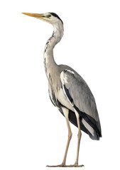 Grey Heron standing, Ardea Cinerea, 5 years old, isolated on whi