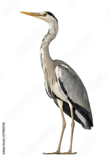 Ingelijste posters Vogel Grey Heron standing, Ardea Cinerea, 5 years old, isolated on whi