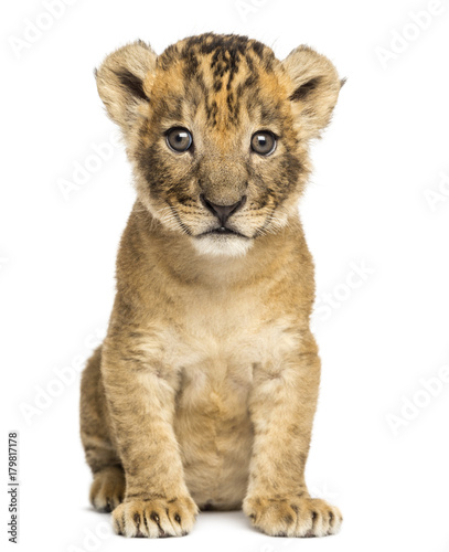 Lion cub sitting, looking at the camera, 4 weeks old, isolated on white