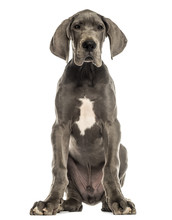 Great Dane Sitting, Facing, Is...