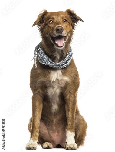 Labrador Australian Shepherd crossbreed dog, panting isolated on white Wallpaper Mural