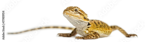Bearded Dragon, Pogona vitticeps, isolates on white