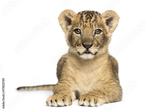 Lion cub lying, looking at the camera, 7 weeks old, isolated on