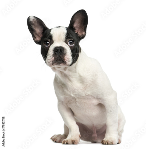 Poster Bouledogue français French bulldog puppy sitting, looking intimidated, 4 months old, isolated on white