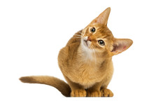 Abyssinian Kitten Sitting, Loo...