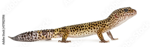 Side view of a Leopard gecko standing, Eublepharis macularius, i