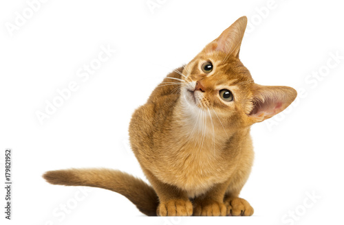 Fotografia  Abyssinian kitten sitting, looking up with curiosity, 3 months old, isolated on