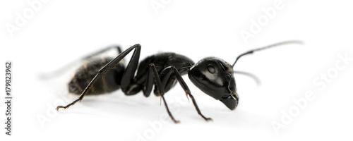 Photo Carpenter ant, Camponotus vagus