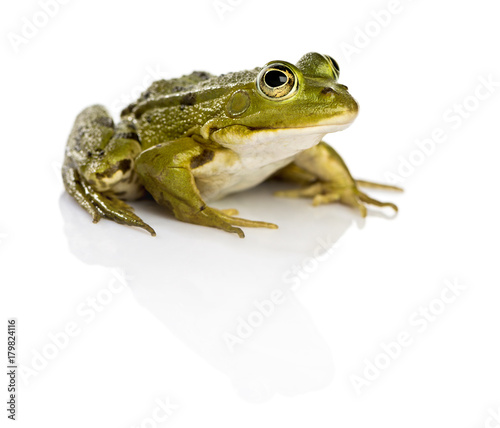 Common Water Frog in front of a white background Wallpaper Mural