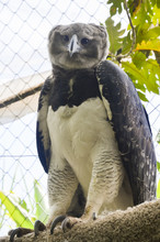 Harpy Eagle. Colombian Amazons