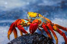 Sally Lightfoot Crab On A Lava Rock, Galapagos