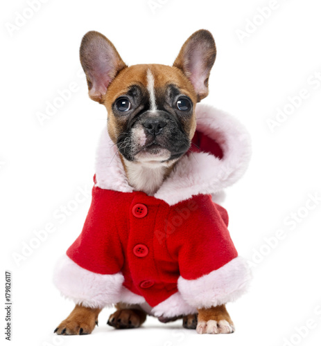 Deurstickers Franse bulldog French bulldog puppy wearing a Santa coat in front of a white ba