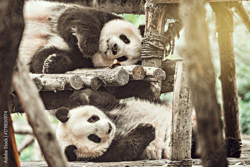 Deurstickers Panda Pair of Giant Panda.
