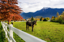 Horse, White Fence On A Farm In British Columbia, Canada