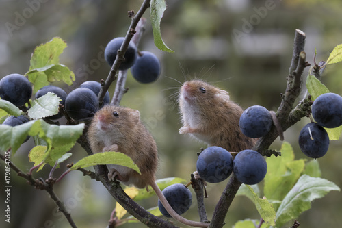 Photo  harvest mouse, mice close up portrait with blurred background on thistle, corn,