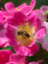Bee On Pink Flower: Kirsten Kl...