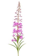 Flower Chamerion Angustifolium
