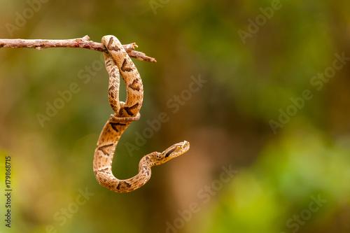Bothrops jararaca on a twig