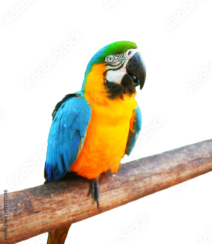 Blue and Yellow Macaw on the branch white isolated background