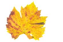 Weinblatt Gelb Im Herbst Im Gegenlicht