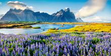 Blooming Lupine Flowers On The Stokksnes Headland