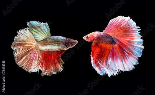 Two beta Fighting Fish,Siamese fighting fish on black background Canvas Print