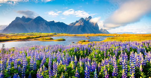 Staande foto Noord Europa Blooming lupine flowers on the Stokksnes headland.