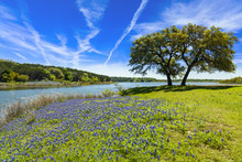 Texas Bluebonnets In The Hill ...